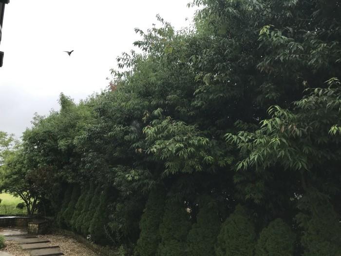 神戸市西区 T様邸 生垣刈込 のビフォー画像1