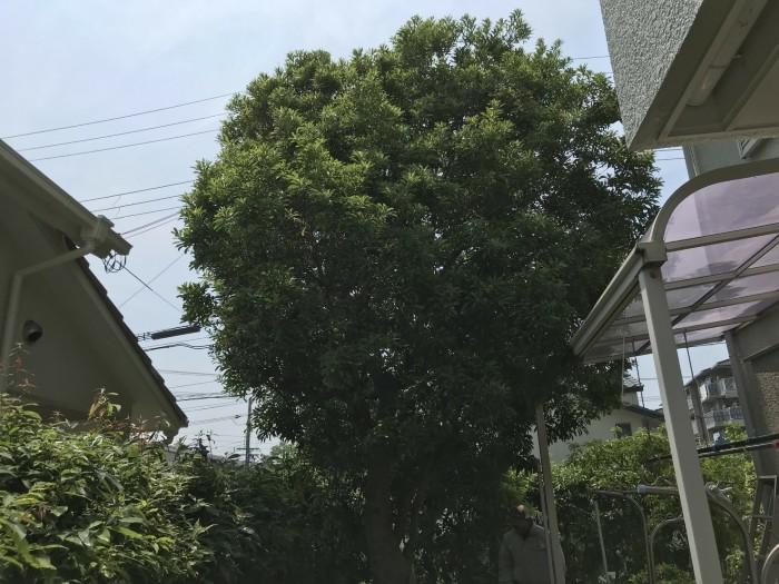神戸市須磨区 ヤマモモ剪定作業 のビフォー画像1