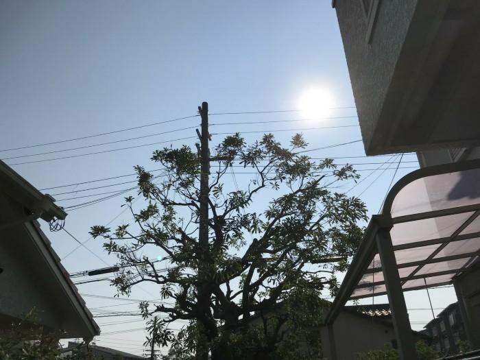 神戸市須磨区 ヤマモモ剪定作業 のアフター画像1