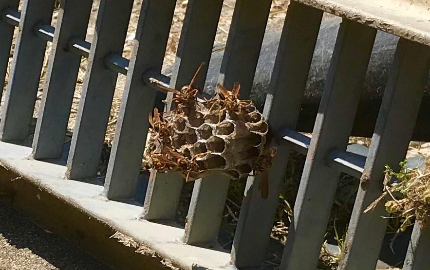 アシナガバチ(成虫・巣)
